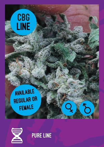 Pure cbg line regular